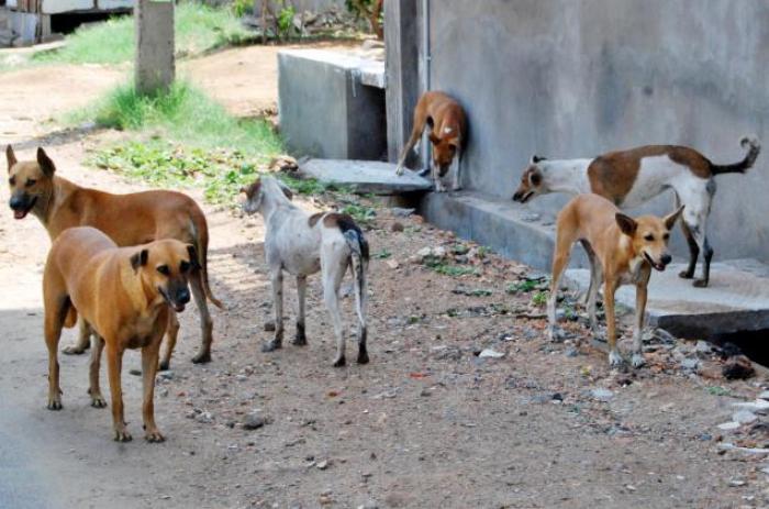 زاكورة : الكلاب الضالة تغزو دواوير عديدة بجماعة تزارين